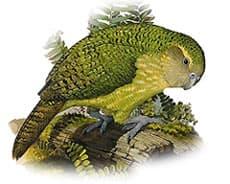 какапо, ара совинный (Strigops habroptilus)