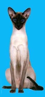 Сиамская кошка, фото фотография, породы кошек