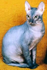 Донской сфинкс, фото, фотография, голая кошка породы кошек