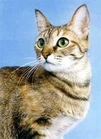 Европейская короткошерстная кошка, фото фотография, породы кошек