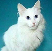 Ангорская кошка турецкая ангора фото