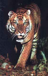 Ттуранский тигр, тигр туранский (Panthera tigris virgata), фото фотография, дикие кошки хищники