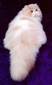 Персидская кошка, перс, фото фотография, породы кошек