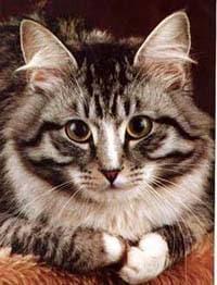 Мейн-кун, мэйн-кун, фото фотография, породы кошек