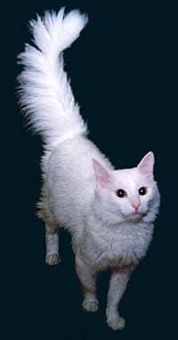 Ангорская кошка, или турецкая ангора.