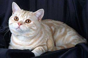 Домашняя кошка (Felis catus), фото фотография, кошки