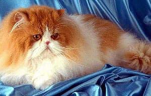 Домашняя кошка (Felis domesticus, Felis silvestris domesticus), фото фотография, кошки