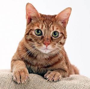 Рыжая кошка, фото фотография, Почему кошка лижет и жует шерстяные свитера?