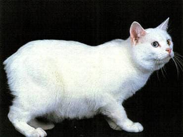 Мэнкс, манкс, менкс, породы кошек, фото фотография