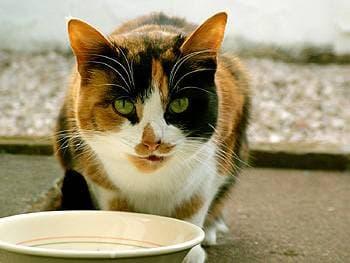 Клетчатка в кормах для кошек, фото фотография кошки