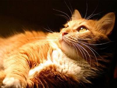 Как почистить уши кошке? рыжая кошка, фото фотография, кошки