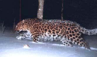 Амурский леопард, леопард амурский (Panthera pardus orientalis), фото, фотография