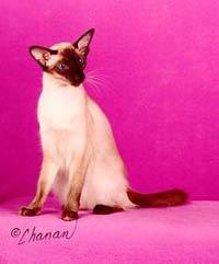 Балинезийская кошка, балинез, фото фотография, породы кошек