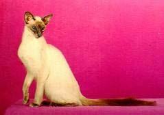 Балинез, балинезийская кошка, фото фотография, породы кошек