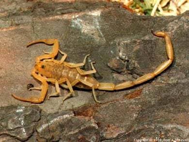 Скорпион, фото фотография, паукообразные