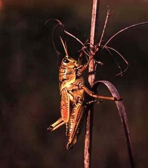 Кузнечик, фото фотография, насекомые