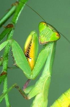 Богомол, фото фотография, насекомые