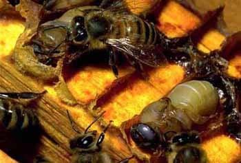 Пчелы, фото фотография