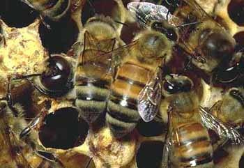 Пчелы, фото фотография, насекомые