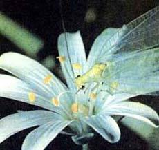 Златоглазка, флерница, фото фотография, насекомые