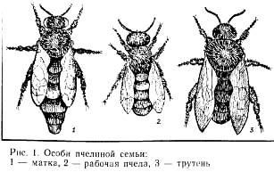 Особи пчелиной семьи, черный рисунок картинка, насекомые