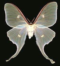 бабочка павлиноглазка, сатурния луна (Actias luna), фото, фотография