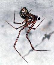 ахерания тепличная самец (Achaearanea tepidariorum), фото, фотография