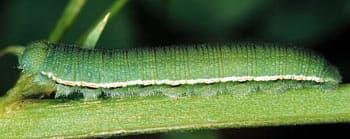 гусеница североамериканской желтушки (Colias philodice), фото, фотография