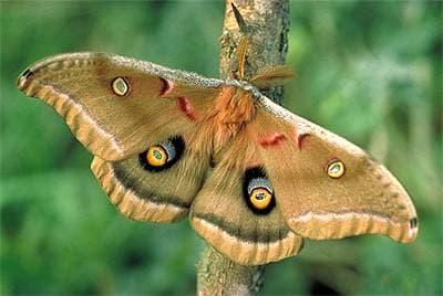 Сатурния полифема бабочка (Antheraea polyphemus), фото фотография, насекомые бабочки