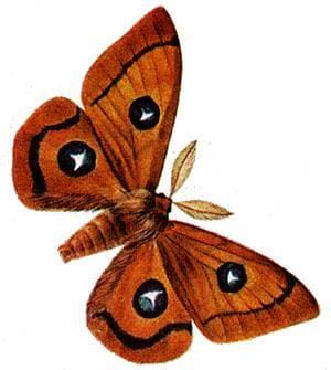 Рыжий павлиний глаз (Aglia tau), рисунок картинка, насекомые