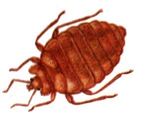 Клоп постельный (Cimex lectularius) постельный клоп, рисунок картинка, насекомые