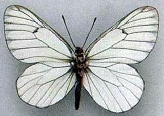 Боярышница (Aporia crataegi), рисунок картинка, насекомые бабочки