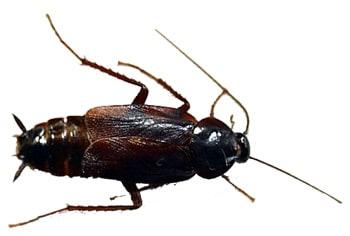 Черный таракан, восточный таракан (Blatta orientalis), рисунок картинка, насекомые