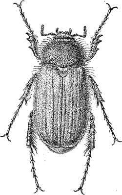 Chioneosoma porosum, черный рисунок картинка жуки насекомые