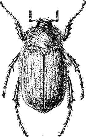 Chioneosoma pulvereum, черный рисунок картинка, насекомые жуки