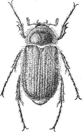 Chioneosoma reitteri, черный рисунок картинка, жуки насекомые