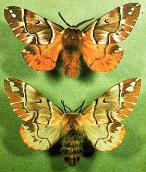 Березовый шелкопряд (Endromis versicolora) шелкопряд березовый, фото фотография, насекомые бабочки