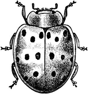 Мексиканский бобовый жук (Epilachna corrupta), черный рисунок картинка, жуки насекомые