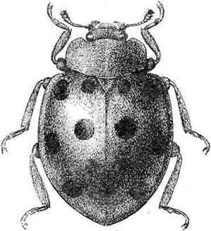 Бахчевая коровка (Epilachna chrysomelina), черный рисунок картинка, насекомые жуки