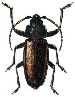 Усач-плотник (Ergates faber), рисунок картинка, насекомые жуки