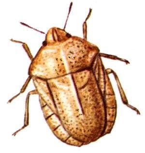 Клоп вредная черепашка (Eurygaster integriceps), рисунок картинка, насекомые жуки