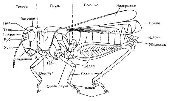 Строение насекомого, схема строение кузнечика, рисунок картинка