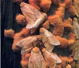 Непарный шелкопряд (Limantria dispar) шелкопряд непарный, фото фотография, насекомые