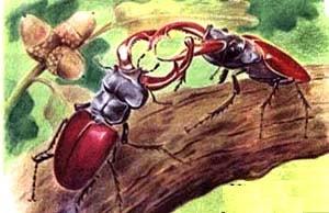 Жук-олень, жук-рогач (Lucanus cervus), рисунок картинка, насекомые