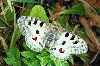 Аполлон (Parnassius apollo), бабочка, фото фотография