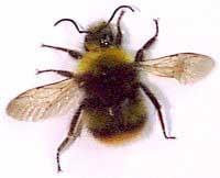Шмель, фото фотография, насекомые
