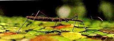 Водомерка, клоп водомерка, фото фотография, насекомые