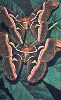 Цинтия, айлантовый шелкопряд (Philosamia cynthia), фото фотография, бабочки насекомые