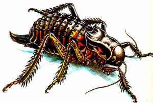 Степной толстун, толстун степной (Bradyporus multituberculatus), рисунок картинка, насекомые