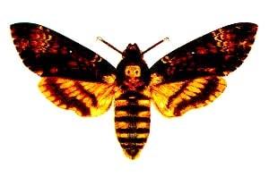 Бражник мертвая голова (Acherontia atropos), рисунок картинка, бабочки насекомые